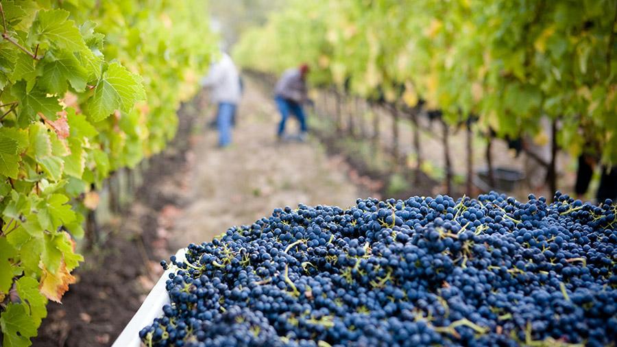 Objavljen natječaj za provedbu podizanja novih vinograda i/ili restrukturiranje vinograda stolnih kultivira